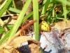 Hornissen erfreuen sich auch an den Pflaumen