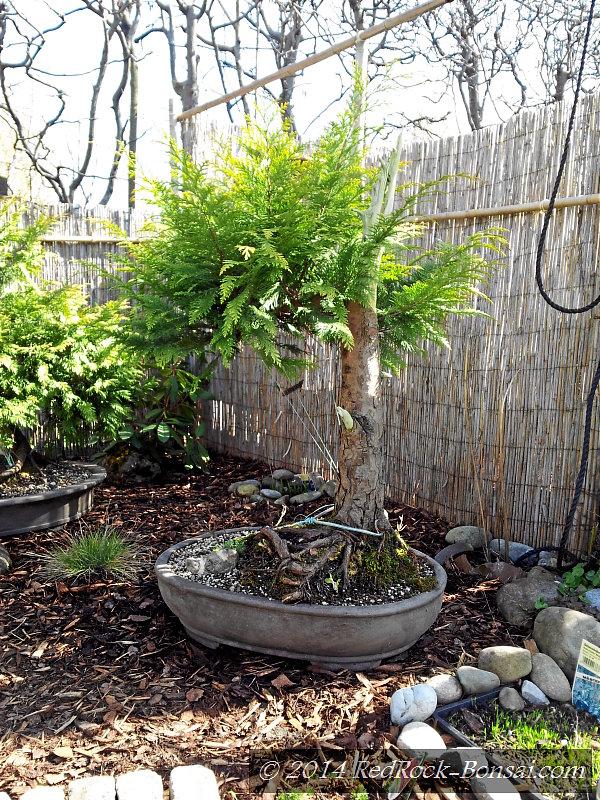 zeit die bonsai aus der erde zu holen redrock. Black Bedroom Furniture Sets. Home Design Ideas