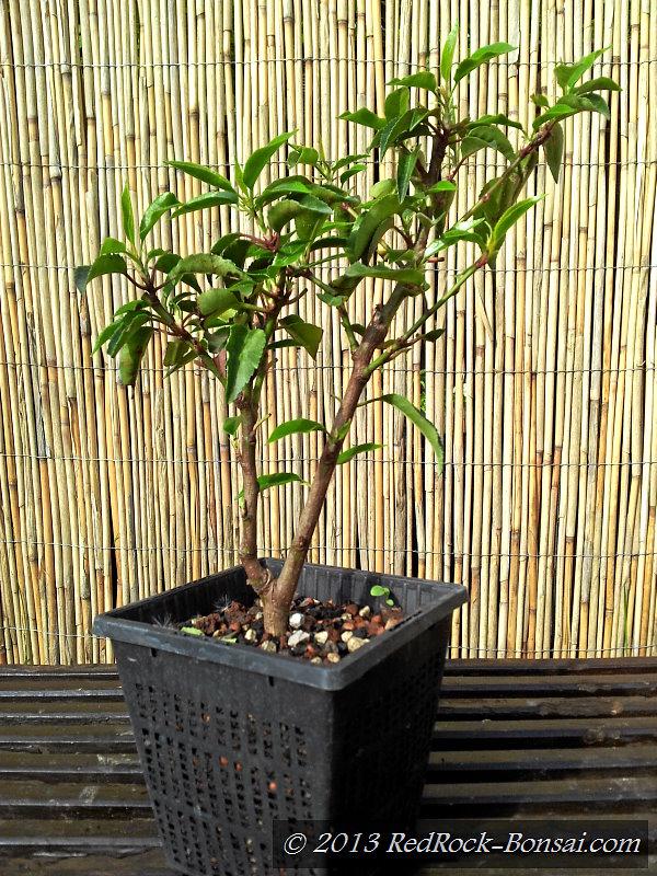 jungpflanzen projekt prunus lusitanica portugiesischer kirschlorbeer redrock. Black Bedroom Furniture Sets. Home Design Ideas